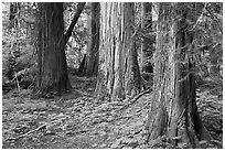 Patriarch Grove. Mount Rainier National Park, Washington, USA. (black and white)