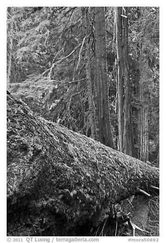 Moss-covered fallen tree in Patriarch Grove. Mount Rainier National Park (black and white)