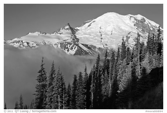 Forest, Mt Rainier and fog, early morning. Mount Rainier National Park (black and white)