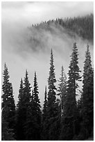 Forest and low clouds. Mount Rainier National Park, Washington, USA. (black and white)