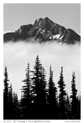 Spruce trees and mountain emerging above clouds. Mount Rainier National Park (black and white)