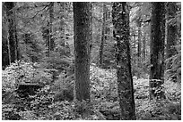 Old-growth forest in autumn. Mount Rainier National Park ( black and white)