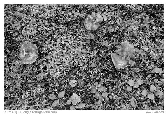 Close-up of mushrooms and ground plants. Mount Rainier National Park (black and white)