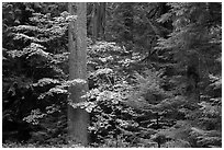 Ohanapecosh rain forest with vine maple in autumn. Mount Rainier National Park ( black and white)