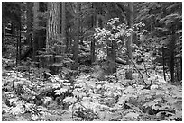 Ohanapecosh forest with bright undergrowth in autumn. Mount Rainier National Park ( black and white)