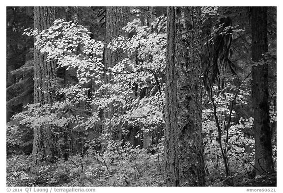 Ohanapecosh forest with yellow vine maple in autumn. Mount Rainier National Park (black and white)