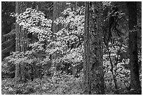 Ohanapecosh forest with yellow vine maple in autumn. Mount Rainier National Park ( black and white)