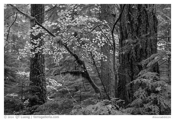 Vine maple and Ohanapecosh old-growth rain forest in autumn. Mount Rainier National Park (black and white)