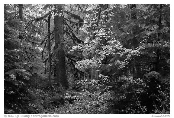 Ohanapecosh old-growth rain forest in autumn. Mount Rainier National Park (black and white)
