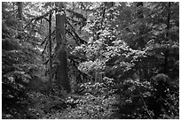 Ohanapecosh old-growth rain forest in autumn. Mount Rainier National Park ( black and white)