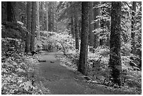 Trail in Ohanapecosh forest. Mount Rainier National Park ( black and white)