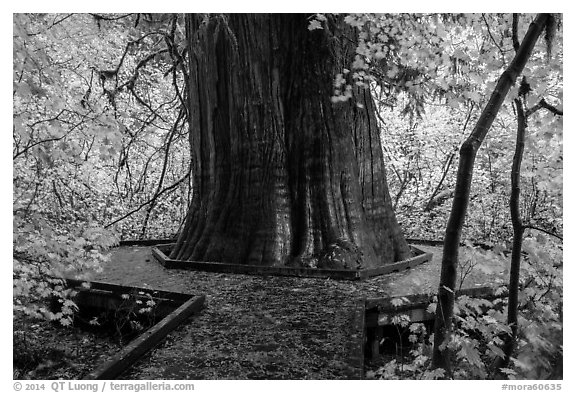 Largest tree in the Grove of the Patriarchs. Mount Rainier National Park (black and white)