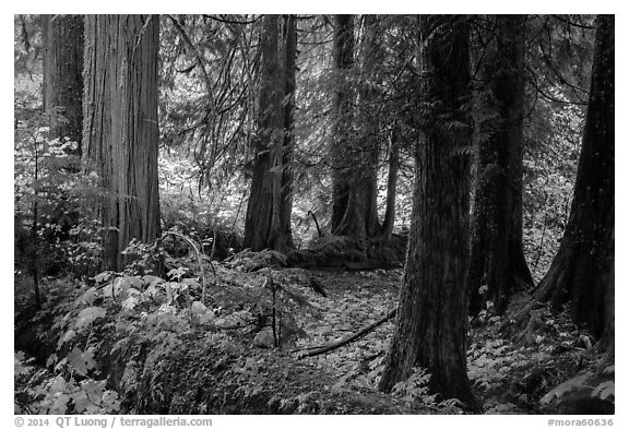 Old growth forest, Grove of the Patriarchs. Mount Rainier National Park (black and white)
