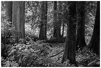 Old growth forest, Grove of the Patriarchs. Mount Rainier National Park ( black and white)