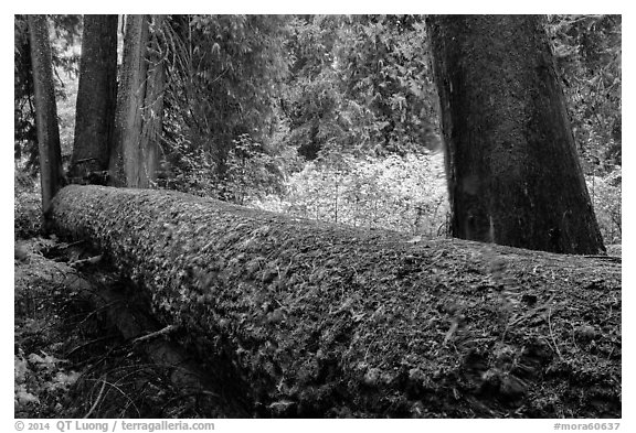 Fallen tree in autum, Grove of the Patriarchs. Mount Rainier National Park (black and white)
