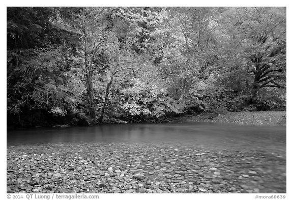 Pebbles, Ohanapecosh River, and autumn foliage. Mount Rainier National Park (black and white)