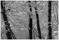Maple trees leaves and branches lining up Ohanapecosh River. Mount Rainier National Park ( black and white)
