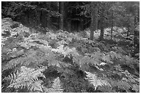 Ferns in autumn and old-growth forest. Mount Rainier National Park ( black and white)