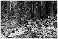 Ferns and old growth forest in autumn. Mount Rainier National Park ( black and white)