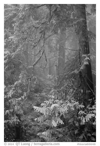 Old growth forest in fog. Mount Rainier National Park (black and white)