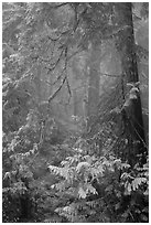Old growth forest in fog. Mount Rainier National Park ( black and white)