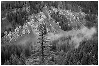 Stevens Canyon with trees in autumn foliage amongst evergreens. Mount Rainier National Park ( black and white)