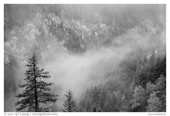 Fog and autumn colors, Stevens Canyon. Mount Rainier National Park (black and white)
