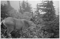 Mule deer in fog,  North Cascades National Park. Washington, USA. (black and white)