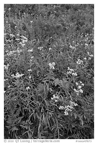 Wildflowers in bloom amidst ferns in autumn color, North Cascades National Park.  (black and white)
