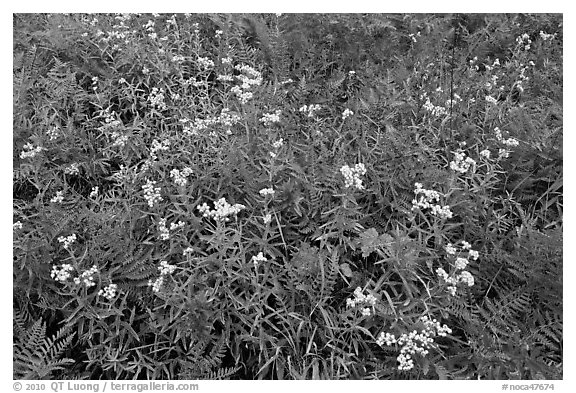 Wildflowers blooming in early autumn, North Cascades National Park.  (black and white)