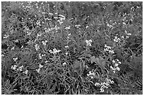 Wildflowers blooming in early autumn, North Cascades National Park.  ( black and white)