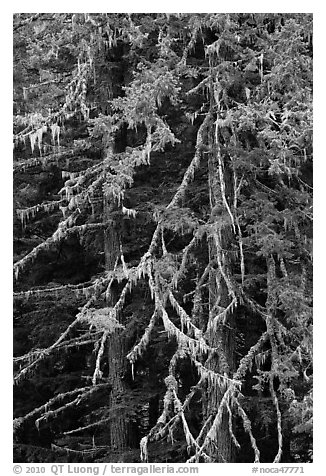 Fir and lichen, North Cascades National Park.  (black and white)