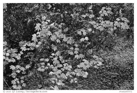 Vine maple leaves in autumn color, North Cascades National Park.  (black and white)
