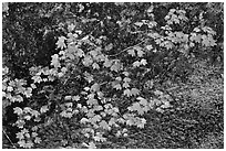 Vine maple leaves in autumn color, North Cascades National Park.  ( black and white)