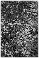 Vine maple leaves in fall color, moss and rock, North Cascades National Park.  ( black and white)