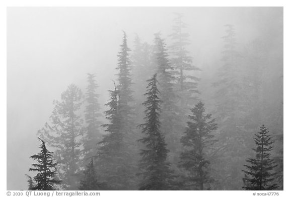 Firs in fog, North Cascades National Park.  (black and white)