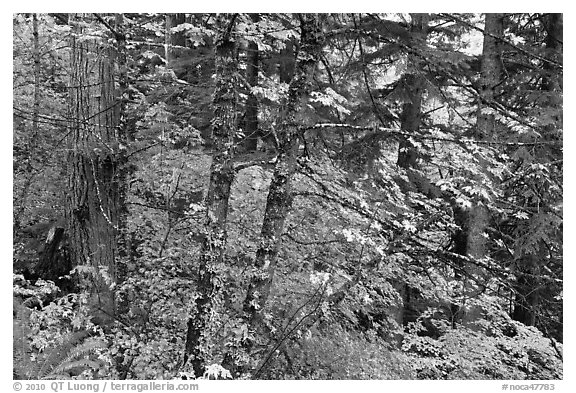 Mixed forest with autumn colors, North Cascades National Park.  (black and white)