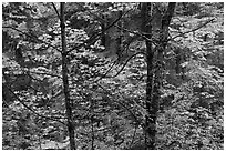 Mixed trees with fall colors, North Cascades National Park.  ( black and white)