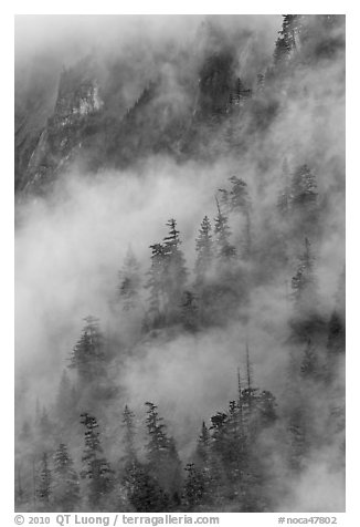 Hillside trees in fog, North Cascades National Park.  (black and white)