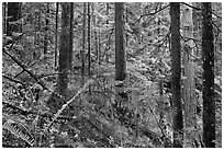 Old-growth forest of hemlock, cedar, and spruce, North Cascades National Park Service Complex.  ( black and white)