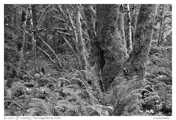 Ferns and moss-covered trunks, North Cascades National Park Service Complex.  (black and white)