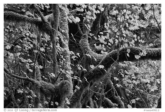 Maple and moss-covered tree trunks, North Cascades National Park Service Complex.  (black and white)