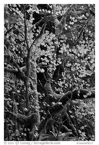 Maple leaves in dark rainforest, North Cascades National Park Service Complex.  (black and white)
