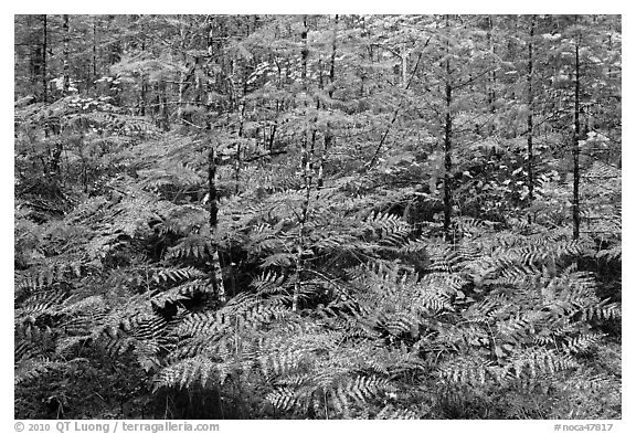 Ferms in autumn foliage, North Cascades National Park Service Complex.  (black and white)