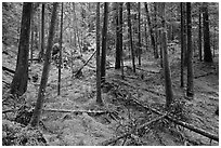 Rainforest with moss-covered floor and fallen trees, North Cascades National Park Service Complex. Washington, USA. (black and white)