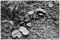 Mushrooms, North Cascades National Park Service Complex. Washington, USA. (black and white)
