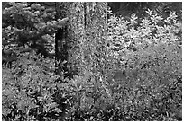 Berry plants in fall color and tree trunk, North Cascades National Park. Washington, USA. (black and white)