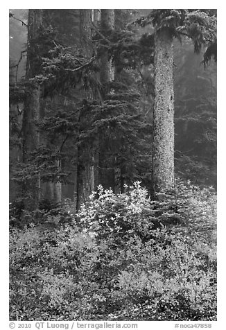 Foggy forest in autumn with bright berry colors, North Cascades National Park.  (black and white)