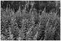 Fireweed,  North Cascades National Park Service Complex.  ( black and white)