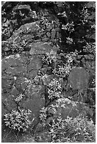 Cliff with yellow flowers,  North Cascades National Park Service Complex. Washington, USA. (black and white)